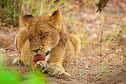 A lioness cleans her paw by licking it.  Sitting camera left of frame, full frontal image.