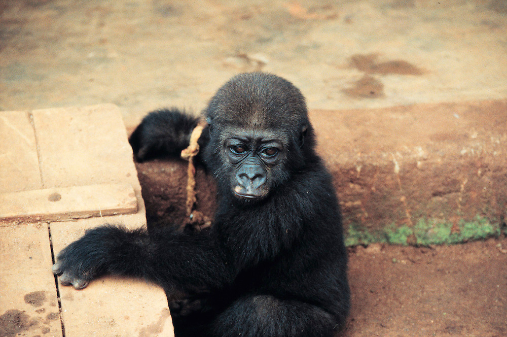 Orphaned baby gorilla, parents shot by hunters, Cameroon. Accession #: 0.99.241.003.20