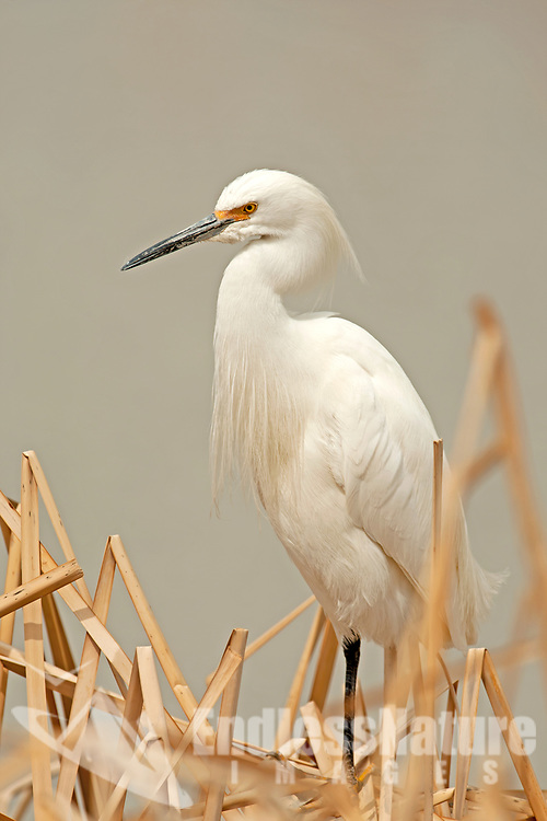 A Snowy Egret stands on a bunch of cattails at Salt Creek Wildlife Management area in northern Utah.