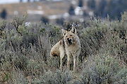 A coyote eats a small rodent in western habitat