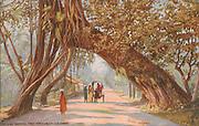 Ceylon Banyan Tree Arch near Colombo.