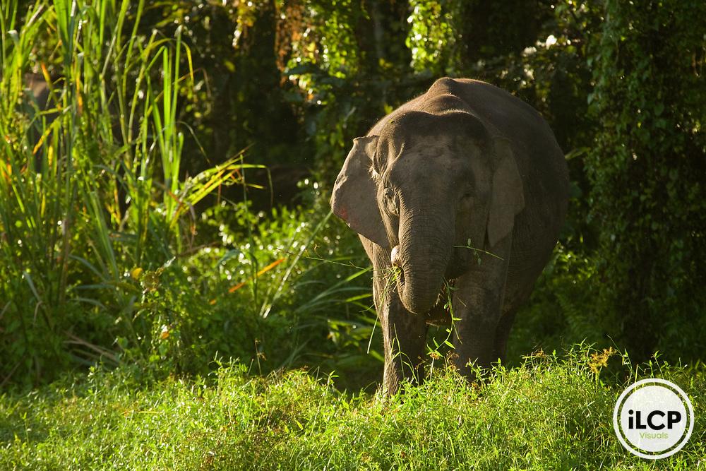 Borneo Pygmy Elephant (Elephas maximus borneensis) female grazing, Kinabatangan River, Sabah, Borneo, Malaysia