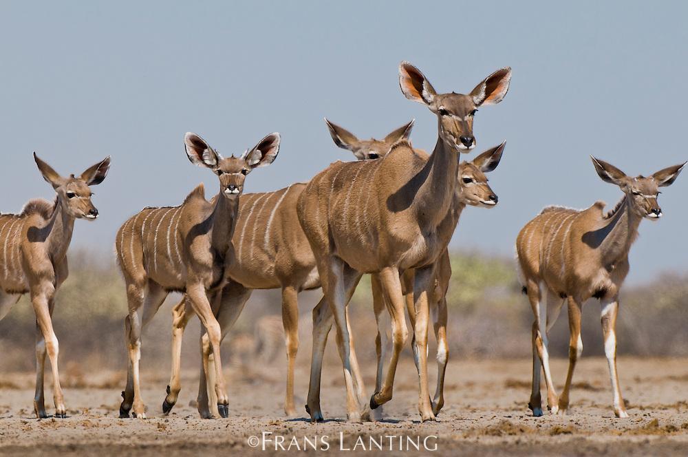 Greater kudu females and calves, Tragelaphus strepsiceros, Etosha National Park, Namibia