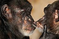 Common chimpanzee [Pan troglodytes].Two female chimpanzees during grooming, the daily social grooming. Intensive mutual body and skin care is an important social component and reflects the relationships within the group...Gemeiner Schimpanse (Pan troglodytes).Zwei Schimpansen-Frauen beim Grooming, der täglichen sozialen Fellpflege. Intensive gegenseitige Körper- und Fellpflege stellt  eine wichtige soziale Komponente dar und spiegelt auch die Beziehungen innerhalb der Gruppe wieder. .