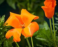 Orange California Poppy. Image taken with a Nikon N1V3 camera and 70-300 mm VR lens (ISO 400, 300 mm, f/5.6, 1/500 sec).
