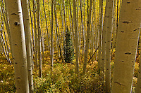 Lone spruce growing up in an aspen grove [Populus tremuloides], autumn; Kebler Pass, Colorado