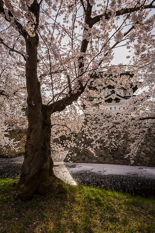 Hirosaki Castle lies hidden by the blossoms of a nearby cherry tree.