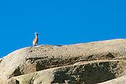Female Spanish Ibex (Capra pyrenaica) watching high up on a granite boulder. Sierra de Gredos, Avila province, Spain.<br /> Cabra mont&eacute;s (Capra pyrenaica) hembra observando desde lo alto de una gran roca de granito.  Sierra de Gredos, Avila, Espa&ntilde;a.