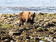 An Alaska coastal brown bear walks across the rocks on the shore of Chinitna Bay, Lake Clark National Park, Alaska.