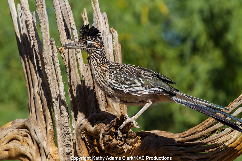 Greater roadrunner; saguaro, skeleton, Sonoran Desert; Southern; Summer; Arizona; Geococcyx californianus;