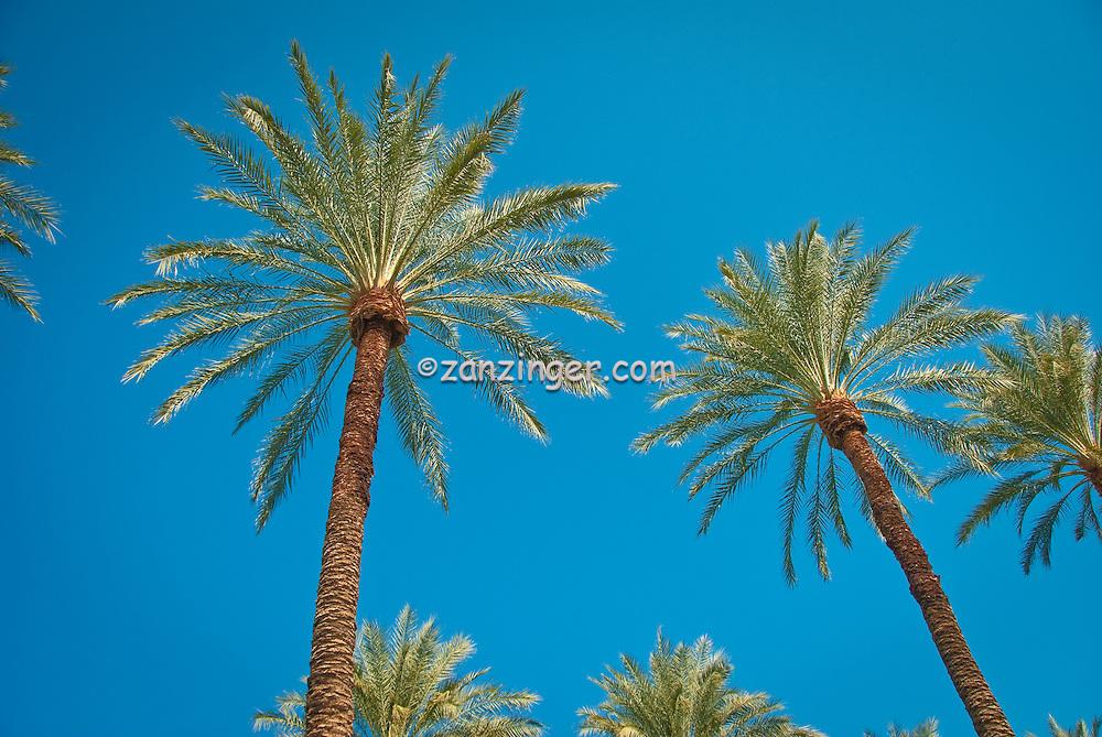 fan palm trees. palm trees, arecaceae, palmae, palmaceae, tree, family, arecales. fan trees