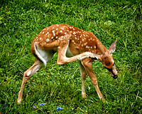 Fawn with an Itch. Image taken with a Nikon 1 V3 camera and 70-300 mm VR lens.