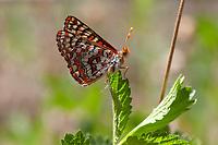 Euphydryas editha augustina (Edith's Checkerspot) at Wildhorse Meadows, San Bernardino Co, CA, USA, on 03-Jun-18
