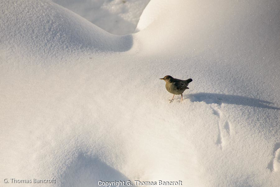 American Diver, or Water Ouzel, walks through the snow above Bagley Creek.