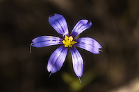 Close-up of a blue-eyed grass flower growing in the Florida Everglades.