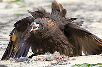 Striated Caracaras fighting over a dead rabbit on New Island in the West Falkland Islands.