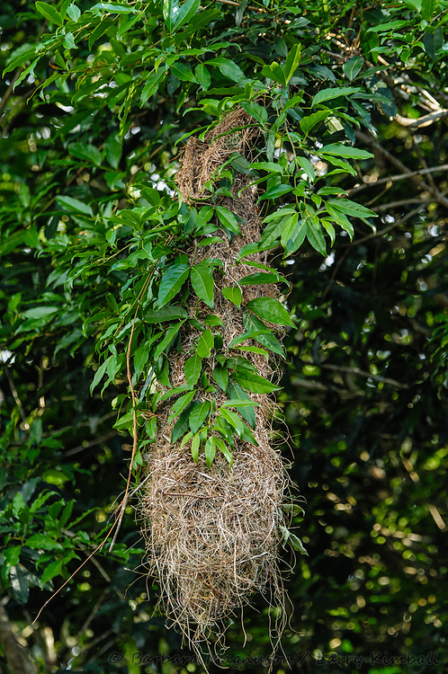 Oropendola [Psarocolius sp] nest; Napo River, Ecuadpr