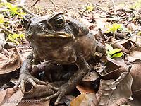 An invasive Cane toad, Kauai.