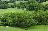 Cattle grazing in lush green spring pastures in the bucolic hills of Marin County, California