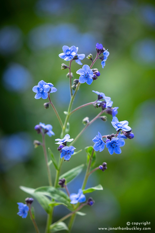 Cynoglossum amabile. Chinese forget-me-not