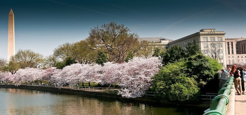 The Tidal Basin blooms with cherry blossoms.
