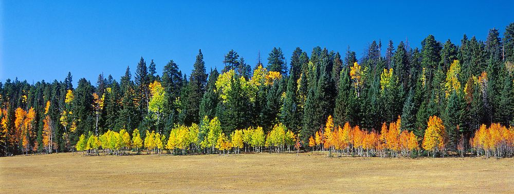 Aspen Trees in Autumn, Kaibab National Forest