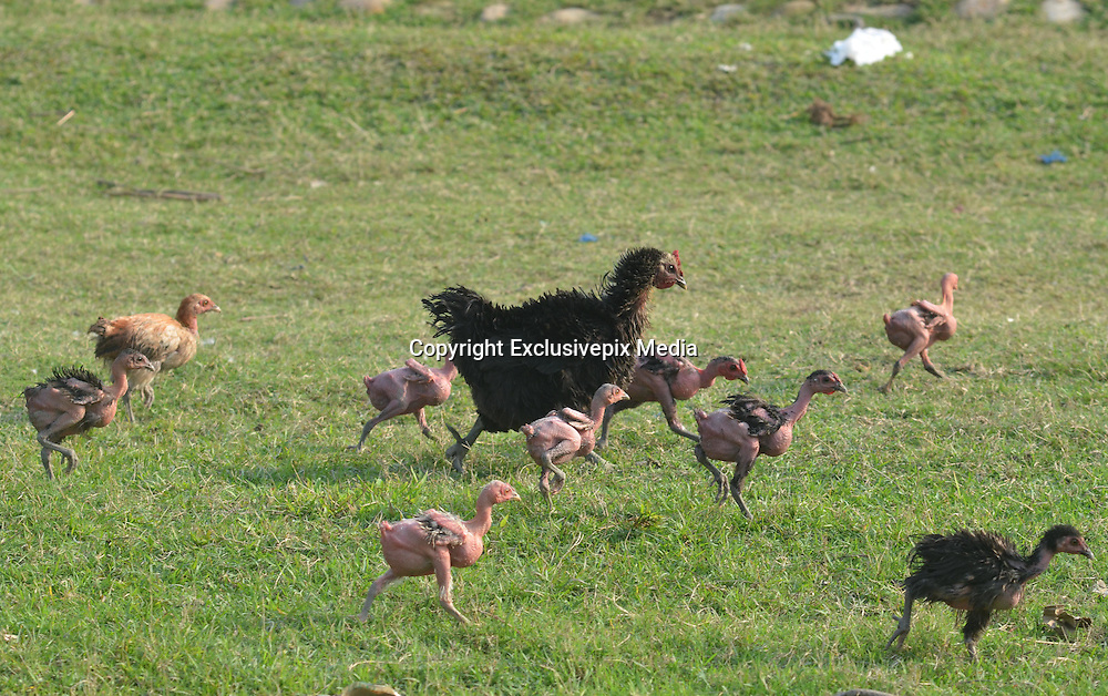 May 3, 2016 - Dimapur, India - <br /> <br /> Featherless chicks eat food as owner feeds them on the ground at a resident in Dimapur, India north eastern state of Nagaland on Tuesday, May 03, 2016. <br /> ©Exclusivepix Media
