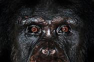 Common Chimpanzee (Pan troglodytes)  .Portrait of a female chimpanzee in direct eye contact. In contrast to gorillas, in chimpanzees usually a direct and intense eye contact is not perceived as aggressive behavior...Gemeiner Schimpanse (Pan troglodytes).Portrait einer Schimpansen-Frau in direktem Blickkontakt. Im Gegensatz zu Gorillas ist bei Schimpansen ein direkter und intensiver Blickkontakt üblich und wird nicht als aggressive Verhaltensweise verstanden..