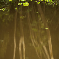 Reflections of white tree trunks in the water of Pahuachiro Caño with water lettuce plants floating on the surface. Pacaya Samiria National Reserve, Upper Amazon, Peru.