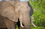 Close-up of an African elephant in the wild, Kruger National Park, South Africa.
