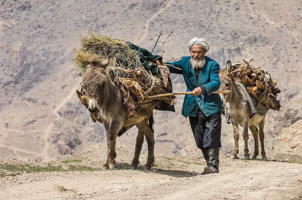 Portrait of an old Tajik man urging his fodder-laden donkeys along a dusty road