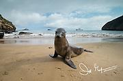 A Galapagos sea lion on a beach on San Cristobal island, Galapagos islands, Ecuador.