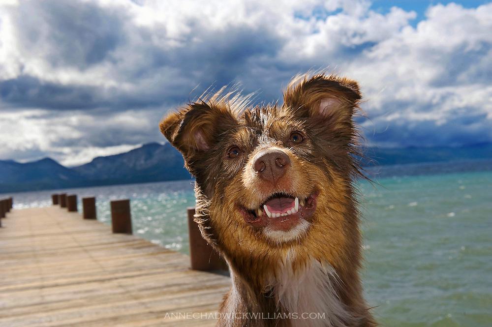 An Australian shepherd dog enjoys Lake Tahoe.