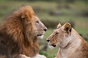 Lion (Panthera leo), Masai Mara, Kenya