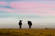 Wildebbest fighting, rutting, Ngorongoro Conservation Area, Tanzania.