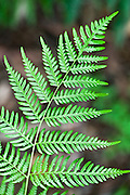 Details of Fern in Australian Bush. Bracken fern (Pteridium esculentum) is a hardy native fern, consisting of a tough stem, green fronds and fleshy underground stems or rhizomes. Besides Australia, it is found on a number of continents including Europe and America.