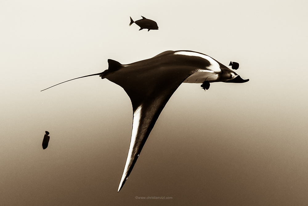 México, Revillagigedo Islands, Socorro. A Manta birostris swimming on top of Cabo Pierce.