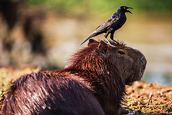 A male capybara,  the world's largest rodent, (Hydrochoerus hydrochaeris) leisurely rests along a river bank while a squawking bird sits on his head, Pantanal, Brasil, South America