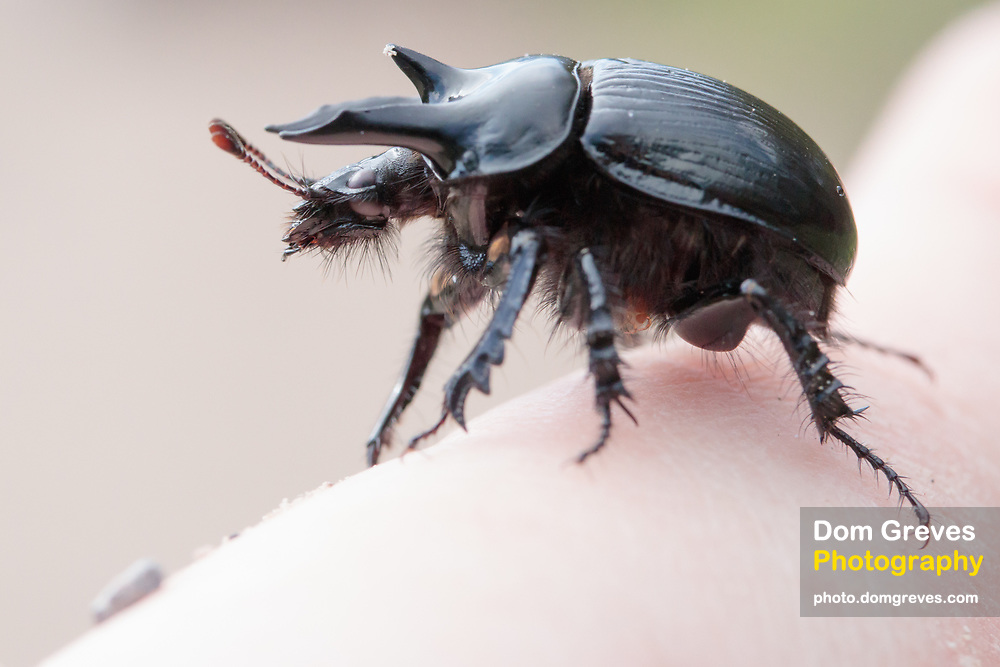 Minotaur beetle (Typhaeus typhoeus) male. Dorset, UK.