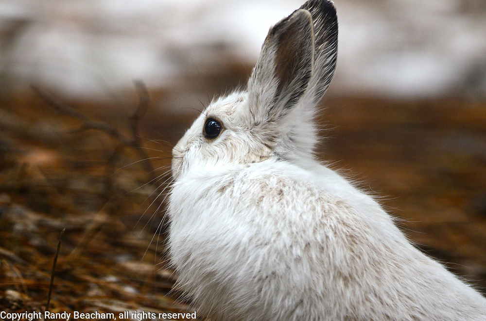 Snowshoe hare in early spring that still has its white winter coat. Yaak Valley in the Purcell Mountians, northwest Montana.