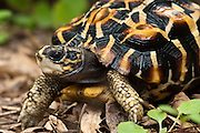 Flat-backed Spider Tortoise (Pyxis planicauda), native to Madagascar