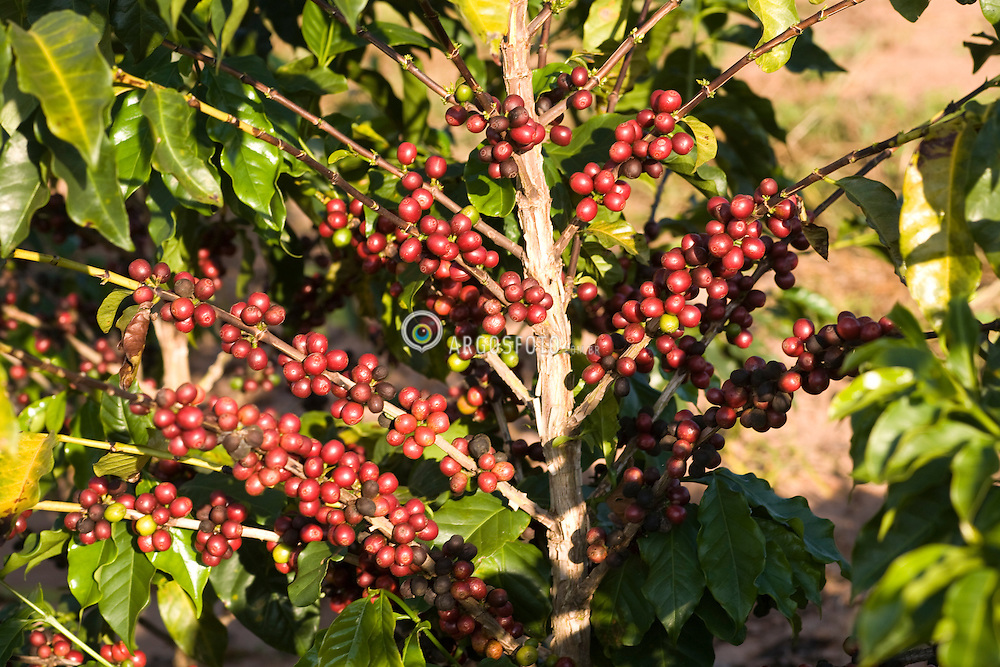 Plantacao de cafe arabica em Galia, interior de Sao Paulo/ Arabic coffee beans on a plant, at a farm in Galia, in the State of Sao Paulo, Brazil