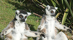 MAR 13 2013 Lemurs  - oldest known twins in the World