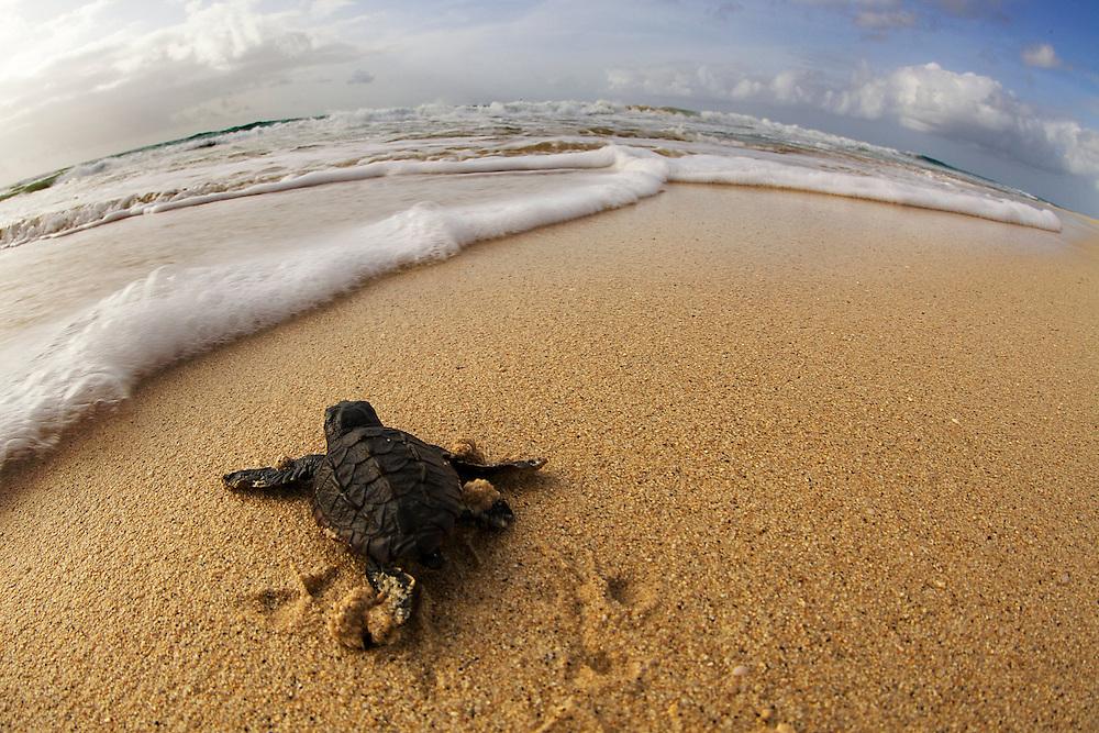 18/Septiembre/2014 Cabo Verde. Boa Vista.<br /> Cr&iacute;as de tortuga Carettha carettha se dirigen al mar despu&eacute;s de la eclosi&oacute;n del nido en la playa de Joao Barrosa.<br /> <br /> &copy; JOAN COSTA