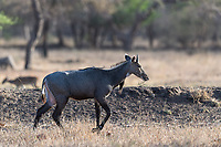 Antilope im Ranthambore National Park, Indien