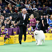 "February 16, 2016 - New York, NY : The Samoyed ""Pebbles' Run Play It Again Ham"" goes for a final lap before winning the working group final of the 140th Annual Westminster Kennel Club Dog Show at Madison Square Garden in Manhattan on Tuesday evening, February 16, 2016. CREDIT: Karsten Moran for The New York Times"