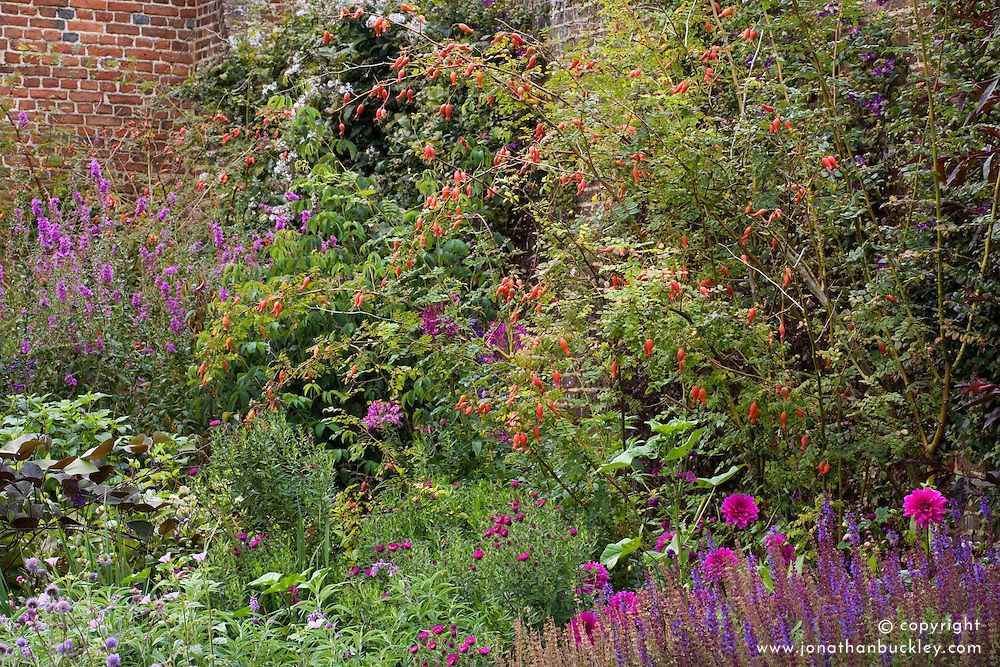 Rosa moyesii in the purple Border at Sissinghurst Castle Garden
