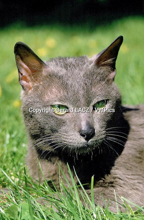 Portrait of Korat Domestic Cat