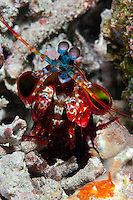 """""""Peacock Smasher"""".  Rainbow colored Mantis Shrimp in its burrow..Shot in West Papua Province, Indonesia"""