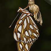 Gulf Fritterary butterfly emerging from cocoon.